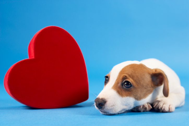 Dog Heart Disease