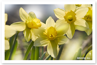 March Flower: Jonquil