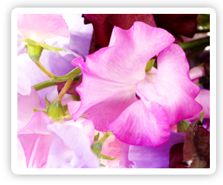 April Birth Flower, sweet pea