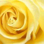 06242013_rose_yellow